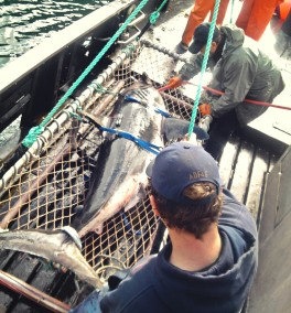 salmon shark, Tagged and relesed