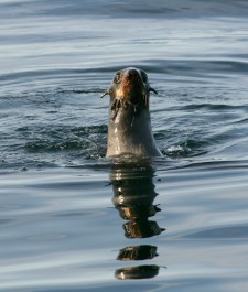 fur seal which is a pinniped not a phocid, in the bearing sea